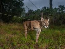 Samica pantery skrada się przez ogrodzenie między sanktuarium Audubon's Corkscrew Swamp a sąsiednią hodowlą bydła w Naples na Florydzie