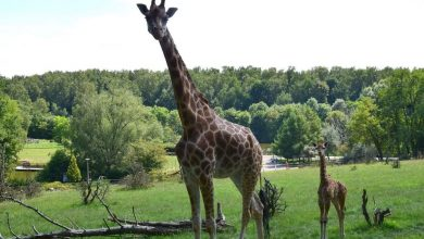Photo of Poznańskie Zoo. Żyrafa Dobrawka nie żyje. To wina zwiedzających?