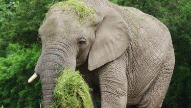 Photo of Warszawskie ZOO zaprasza na 18 urodziny słonia Leona. Zwierzę otrzyma dowód osobisty!