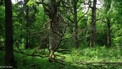 Photo of Kolejna wycinka Puszczy Białowieskiej? UNESCO: Lista Dziedzictwa Ludzkości w zagrożeniu czeka…