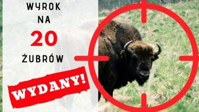 Photo of Gatunek ściśle chroniony. 20 żubrów w Puszczy Boreckiej zostanie odstrzelonych!