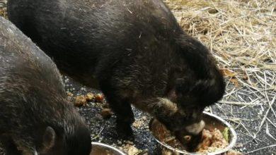 Photo of 2019 rokiem świni. Warsztaty i ferie w łódzkim ZOO