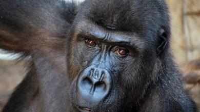 Photo of Warszawskie ZOO. Gorilla Mozila – Światowy Dzień Goryla 2019. Mnóstwo atrakcji czeka