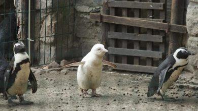Photo of Pingwin albinos w gdańskim ZOO. Gatunek zagrożony wyginięciem