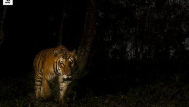Photo of Fundacja WWF ratuje zagrożone gatunki na świecie: słonie indyjskie, tygrysy, pantery śnieżne, niedźwiedzie brunatne