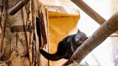 Photo of Nowy mieszkaniec łódzkiego zoo – mały binturong, czyli kotomiś