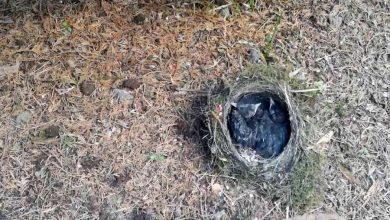 Photo of Gniazdo spadło na ziemię. Strażnicy z Ekopatrolu pomogli małym kosom