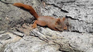 Photo of Wiewiórka uratowana przed zadziobaniem. Przyjechał Ekopatrol