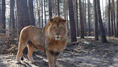 Photo of Azyl dla ocalonych zwierząt w Poznaniu. Lwica Kizia i lew Leoś mają nowe lokum