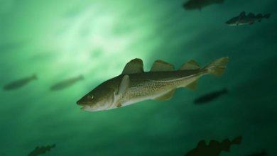 Photo of KE wprowadziła zakaz połowów bałtyckiego dorsza. Czy Europa wyczerpała swoje zasoby ryb?