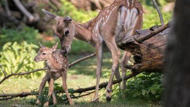 Photo of Zoo Wrocław. Urodziła się samica daniela mezopotamskiego. Na świecie żyje ich ponad 700