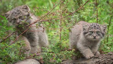 Photo of Manule zagrożone wyginięciem. Pięć dzikich kotów urodziło się we wrocławskim zoo [ZDJĘCIA]