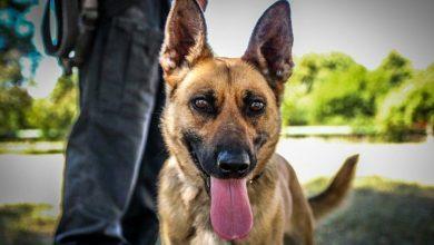 Photo of Międzynarodowy Dzień Psa. Czworonogi pełnią służbę w Straży Granicznej i Policji