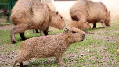 Photo of Gdański Ogród Zoologiczny. Narodziny kapibar. To największe gryzonie na świecie