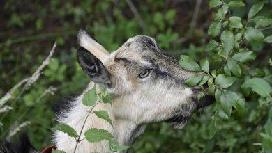 Photo of Martwe kozy na warszawskiej wyspie. Kilka zwierząt zostało wrzuconych do Wisły