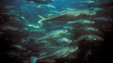 Photo of Ministrowie UE zignorowali prawo. Pozwolili na nadmierne połowy bałtyckich stad ryb