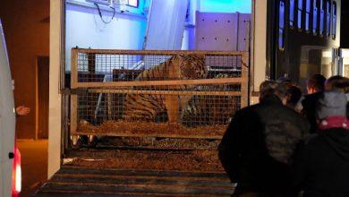 Photo of Poznańskie ZOO. Wszystkie tygrysy żyją! Ich stan jest ciężki. Sprawcy usłyszą zarzuty