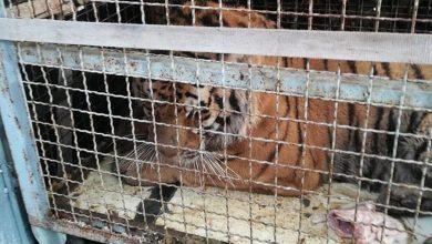 Photo of Dramat tygrysów na granicy polsko-białoruskiej. Skandaliczne warunki. Zwierzęta trafią do poznańskiego zoo