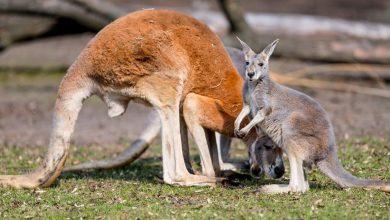 Photo of Kangur rudy nowym mieszkańcem wrocławskiego zoo