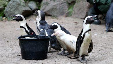 Photo of Gdańskie ZOO. Pierwsze urodziny pingwinka albinoska Kokosanki