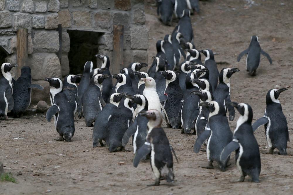 pingwin kokosanka