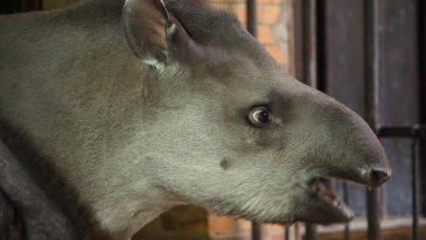 Photo of Wrocławskie ZOO. Drugie urodziny tapirzycy Sary