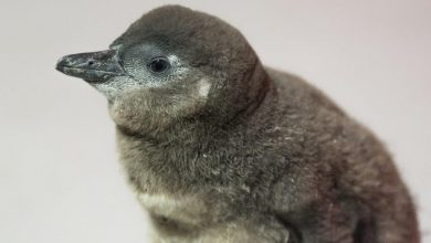 Photo of Nowy mieszkaniec ZOO Wrocław. Pingwin przylądkowy zagrożony wyginięciem