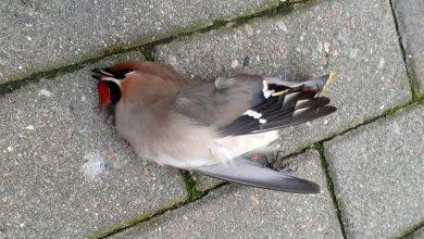 Photo of Po Sylwestrze – fajerwerki i petardy. Martwe ptaki na chodniku