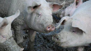 Photo of Hodowca z Dolnego Śląska zjedzony przez własne świnie