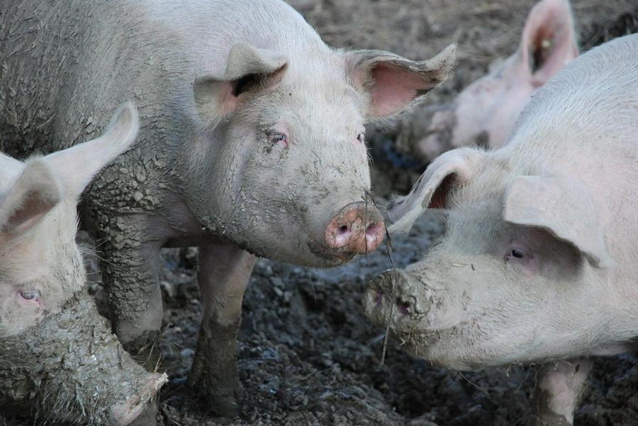 pigs świnie