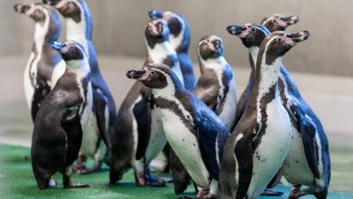 Photo of 43 lata nieobecności! Powrót pingwinów do Śląskiego Ogrodu Zoologicznego