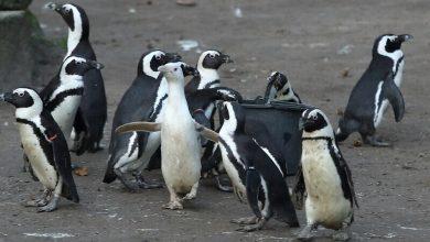 Photo of Gdańskie Zoo: o Kokosance – uroczej albinosce. 18 pingwinów z Łodzi