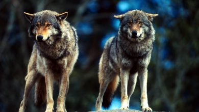 Photo of Kłusownicy vs wilki. Szara eminencja lasów dba o równowagę. Człowiek zagraża watahom