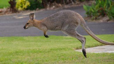 Photo of Ulicami Rumi skakał kangur. Do właściciela pojechał… radiowozem