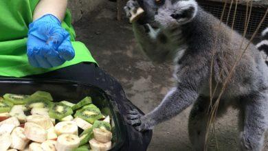 Photo of Lemur król Julian ma urodziny. Łódzkie ZOO w czasach koronawirusa. Zaglądamy do zamkniętego ogrodu [WIDEO]