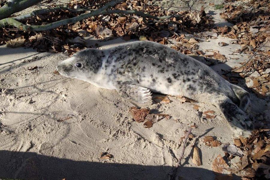 Photo of Młoda foka odpoczywała na gdyńskiej plaży. EkoPatrol zabezpieczył teren