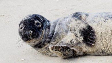 Photo of Krynica Morska. Wychudzona i odwodniona młoda foka uratowana