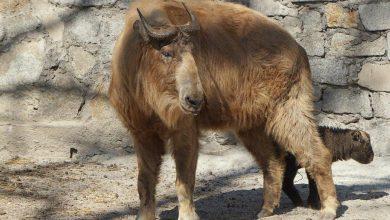 Photo of Zoo Wrocław – jeden z najrzadszych gatunków zwierząt. Urodził się drugi w Polsce takin złoty [WIDEO]