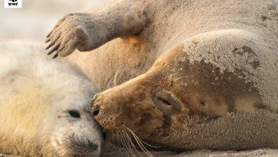 Photo of 30 młodych fok oddzielonych od matek. Wolontariusze pomagają. Plaża to nie park dla psów