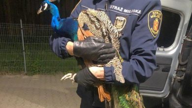Photo of Spacerowicz paw wylądował na tarasie. Piękny ptak został odłowiony