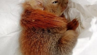 """Photo of Szczęście malutkiej wiewiórki. Wychłodzona i głodna """"Basia"""" uratowana"""