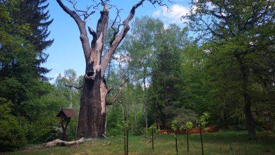 Photo of Obumarł Chrobry, najstarszy dąb szypułkowy w Polsce