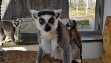 Photo of Warszawskie ZOO. Znamy imiona lemurzych przesłodkich maluchów. Przeprowadzka zaatakowanych niedźwiedzic