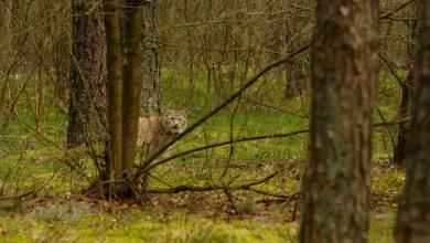 Photo of Pierwsze zdjęcie rysia z obornickich lasów