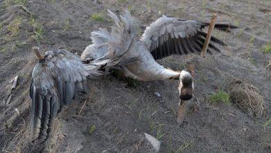 Photo of Ukrzyżowany żuraw na polu. Średniowieczne obyczaje na Mazowszu