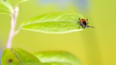 Photo of Uwaga na kleszcze! Dlaczego te pajęczaki są groźne? Porady