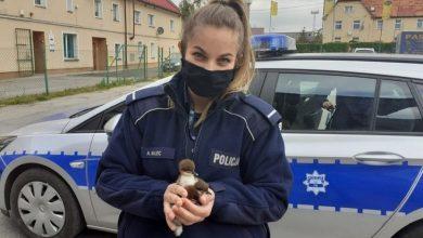 Photo of Policjanci uratowali trzy dzikie kaczątka