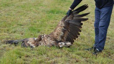Photo of Okrucieństwo gołębiarzy! Zabijają m.in. jastrzębie, błotniaki i bieliki