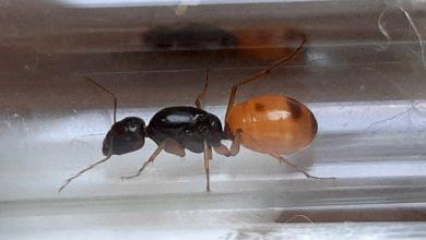Photo of Przemyt chińskich mrówek udaremniony. Czekają w… kwarantannie [WIDEO]
