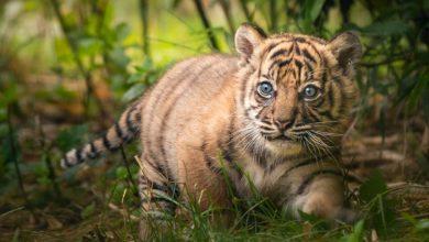 Photo of Znamy imię malutkiej tygrysicy sumatrzańskiej z Zoo Wrocław [WIDEO]